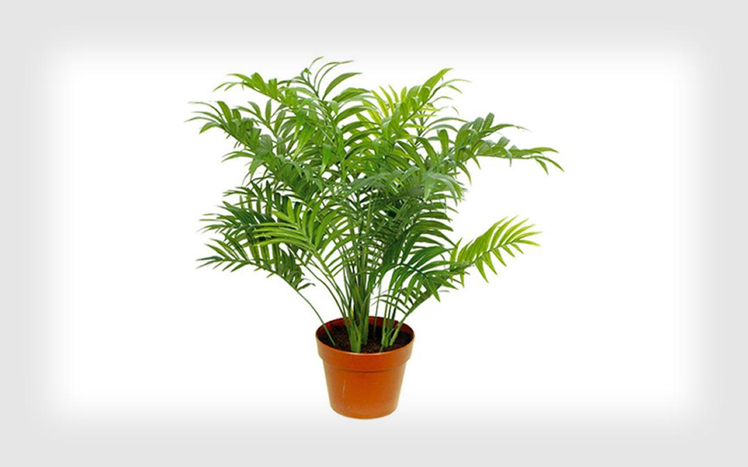 6-palmeira-chamaedorea-plantas-ambientes-fechados-apartamento-show